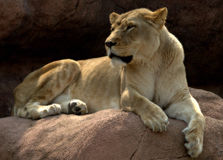 Lion king of the beasts Royalty Free Stock Photos