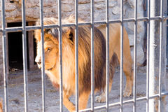 The lion is the king of beasts in captivity in a zoo behind bars. Power and aggression in the cage. The lion is the king of beasts in captivity in a zoo behind Royalty Free Stock Images