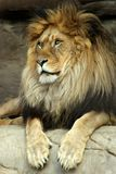 Lion king of beasts. Majestic lion looks into the distance while lying on a rock Stock Image