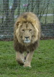 Lion king of beasts. A male lion walking towards the camera in a safari park Stock Photo