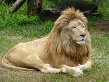 Lion King in Buenos Aires. Superb Lion in the Buenos Aires' zoo laying down on the grass stock photos