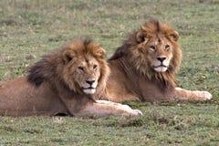 Lion King Coalition auf dem Serengeti lizenzfreie stockfotografie
