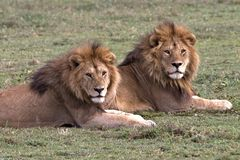Lion King Coalition on the Serengeti royalty free stock photography