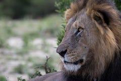 Lion King está olhando Imagem de Stock Royalty Free