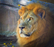 Lion. King of the forest known as lion royalty free stock photo