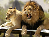 Lion King and his Mate Stock Photo