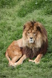 Lion - King of Jungle stock image