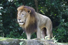 Lion 1 Royalty Free Stock Images