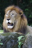 Lion 3 Royalty Free Stock Photos