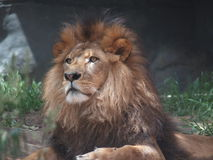 Lion - The king of the jungle. A lion sitting proudly in his pride, basking in the sun Royalty Free Stock Photo