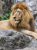 Lion,King of the Jungle Stock Photos
