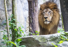 Lion,King of the Jungle Royalty Free Stock Photo