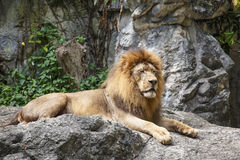 Lion,King of the Jungle Stock Image