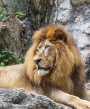 Lion,King of the Jungle Royalty Free Stock Image