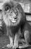 Lion king of the jungle. Lion king of jungle in black and white stock image