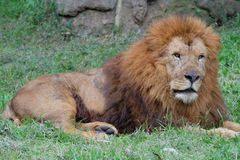 The lion Royalty Free Stock Photos