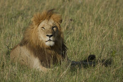 The lion king in Kenya Royalty Free Stock Images