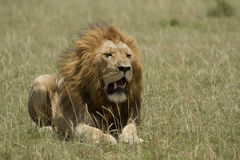 The lion king in Kenya Stock Photography