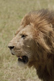 The lion king in Kenya Royalty Free Stock Photography