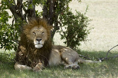 The lion king in Kenya Stock Images