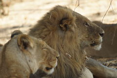 Lion king and lioness. The King of Africa was laying surrounded by his family. Proud and dominant royalty free stock photography