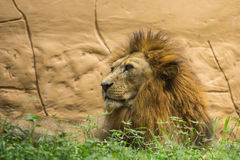 Lion the king Royalty Free Stock Photos