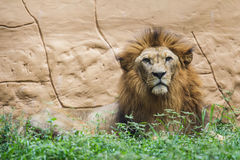 Lion the king Royalty Free Stock Photography