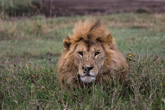 Lion king. Male lion posing in green grass Royalty Free Stock Photos