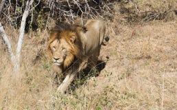 Lion King marchant en parc national de Kruger photos stock