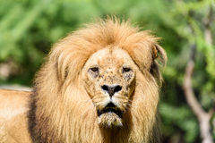 Lion King Portrait Stock Image