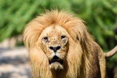 Lion King Portrait Stock Photos