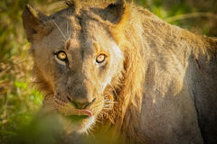 The lion king. A lion in the savannah Royalty Free Stock Photography
