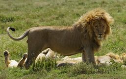 Lion the king Royalty Free Stock Photo