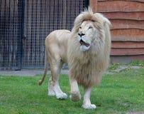 Lion King. Royalty Free Stock Photos