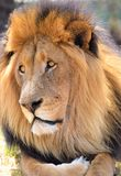 Lion King Royalty Free Stock Images