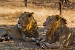Lion Kings - frères pendant la vie Images stock