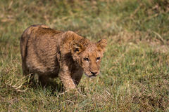 A lion kitten hunting Stock Image