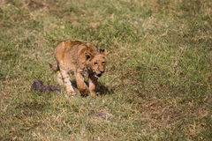 A lion kitten walking Stock Image