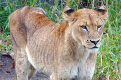 Kruger Lion royalty free stock photography