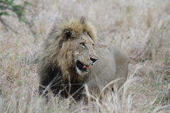 Lion in the Kruger National Park Stock Photography