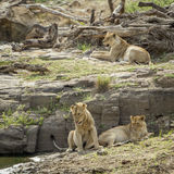 Lion in Kruger National park, South Africa Stock Photography
