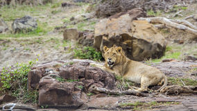 Lion in Kruger National park, South Africa Royalty Free Stock Photos