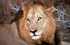 Lion, Kruger National Park, South African Republic Stock Images