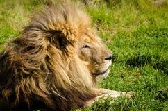 Lion Kruger National Park, Suráfrica Foto de archivo
