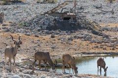 Lion and Kudu antelope Stock Photos