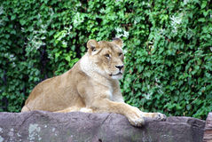 Lion lady. Is laying in the sun Royalty Free Stock Images