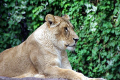 Lion lady. Is laying in the sun Stock Photography