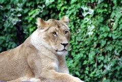 Lion lady. Is laying in the sun Stock Photo