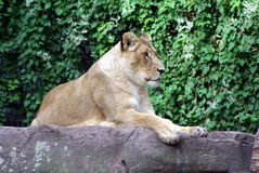 Lion lady. Is laying in the sun Stock Photos