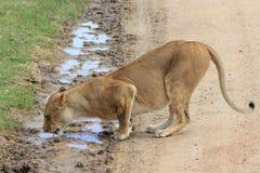 Lion Lady drinking Stock Photos